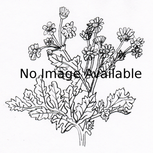 Melissa Officinalis Drawing Noimage-thumb